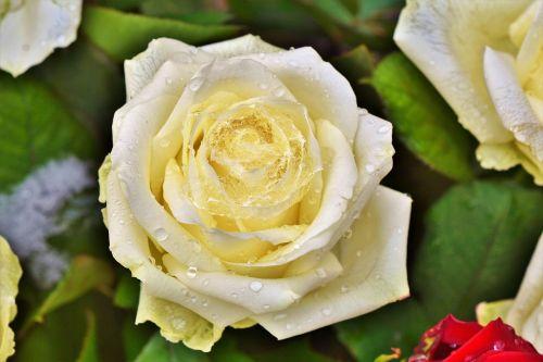 rose rose bloom pale yellow rose
