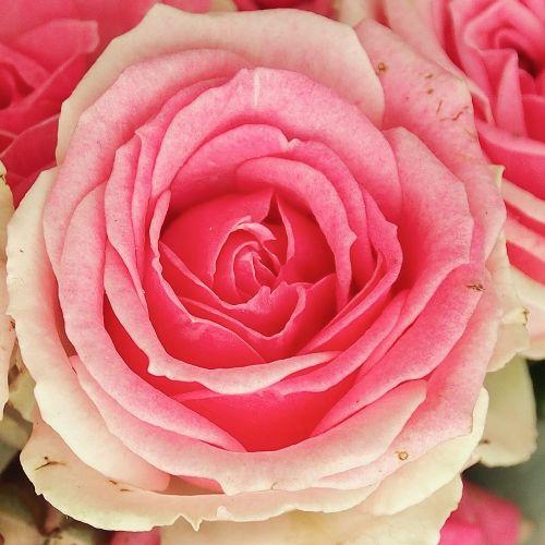 rose pink white