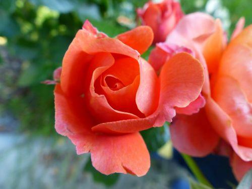 rožė,švelnus,švelnus,lašiša,augalas,erškėčių,gamta,makro,Uždaryti,šerti,skyrius