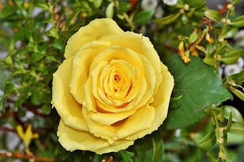 rose  yellow rose  garden rose