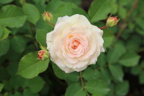 rose  whitish rose  roses