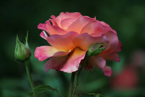 rožė,rožės,išaugo žydėti,gėlė,žiedas,žydėti,gėlės,žydėti,gražus,spalvinga,augalas,romantiškas,rožinis,rožių šeimos,flora,švelnus,gamta,spalva,botanika,Uždaryti,lapai,sodas,dekoratyvinis,šviesus,žiedlapiai,žydėjo,šviesa,farbenpracht