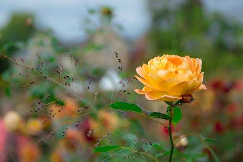 rose  yellow  rose bloom