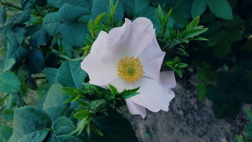 rose  pink  rose bush