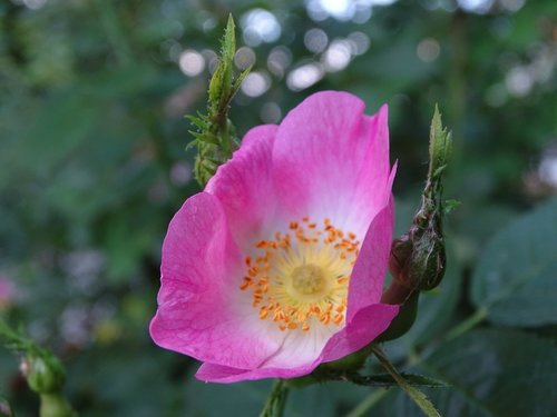 rose  wild rose  dog rose