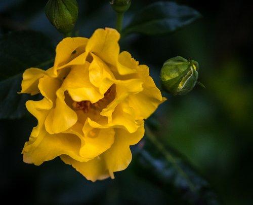 rose  rose bloom  bud
