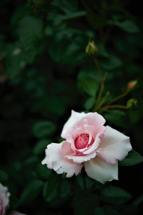 rose  flowers  their status