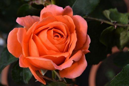 rose  orange  blossom