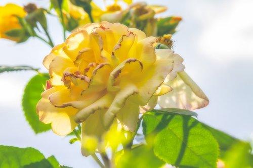 rose  backlighting  blossom