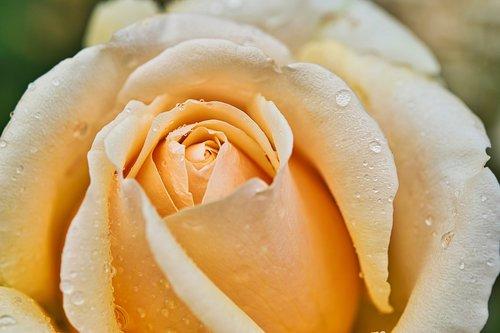 rose  yellow rose  rose blooms