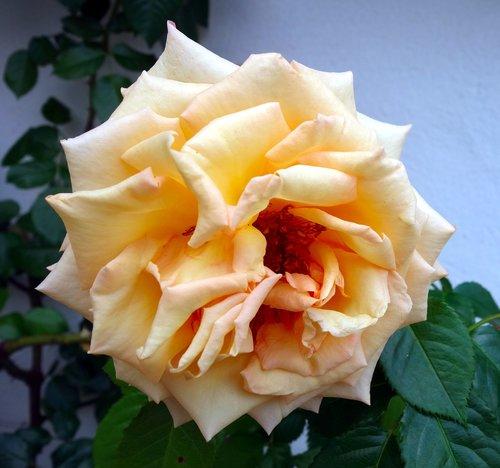 rose  climbing rose  blossom