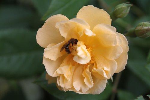 rose  rose bloom  wild bee