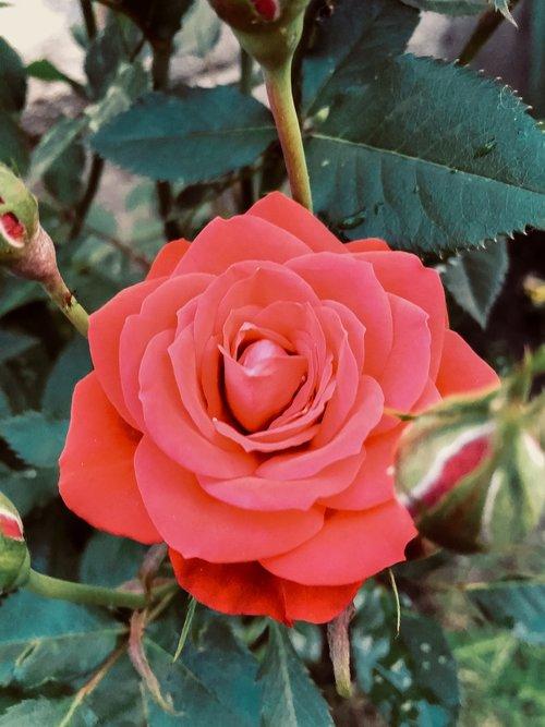 rose  red  red rose