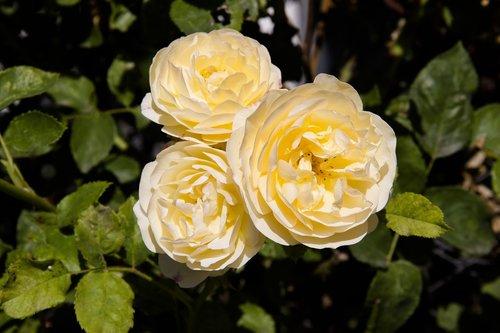 rose  yellow  yellow rose