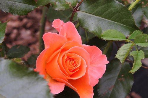 rose  flower  rosebush