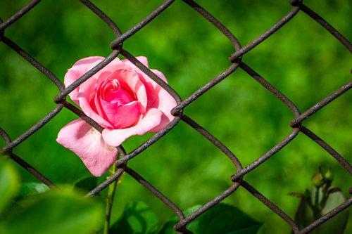 rose  pink  fence