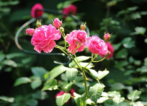 rose  ornamental shrub  pink flowers