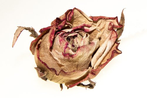 rose  withered  blossom