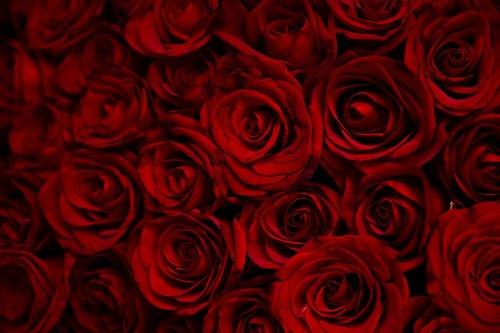 rose  roses  flowers