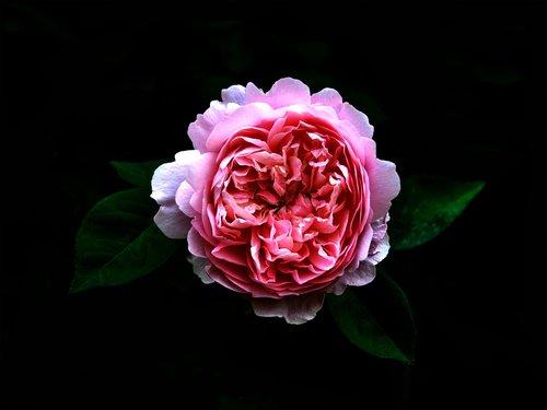 rose  on a dark background  botany