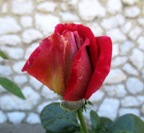 rose  flower  blooms at