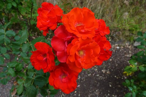 rose  bright  red