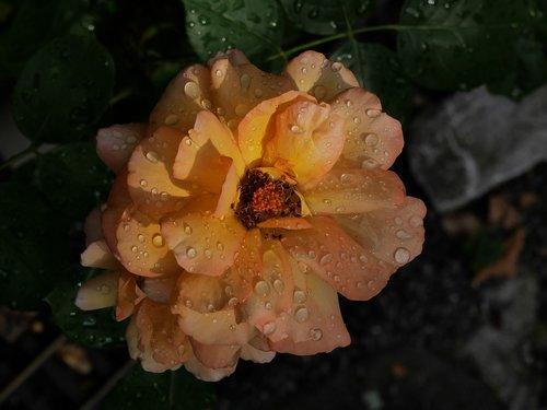 rose  rain  rainstorm