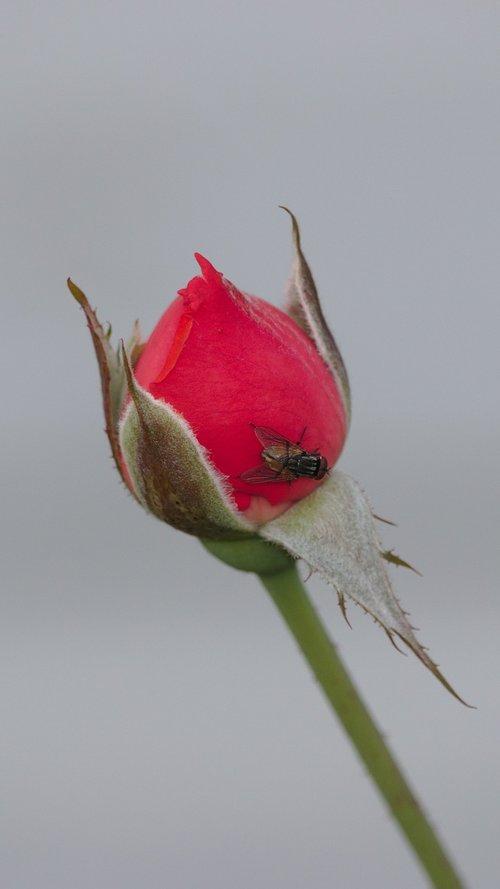 rose  bud  fly