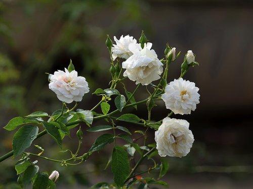 rose  rose in garden  garden