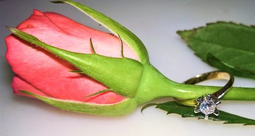 rose  single bloom  bud