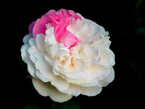 rožė,išaugo žydėti,bi spalva,užaugo,žydėti,gėlė,žiedas,žydėti,augalas,Uždaryti,gamtos keistuolis,auginami vienas į kitą,rožinis,balta,žiedlapiai,budas,gamta,flora,išskirtinis,keista,retenybė