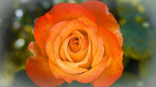 rose  background  bright