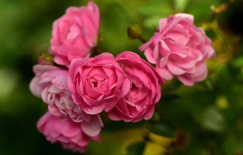 rose  bush rose  nature