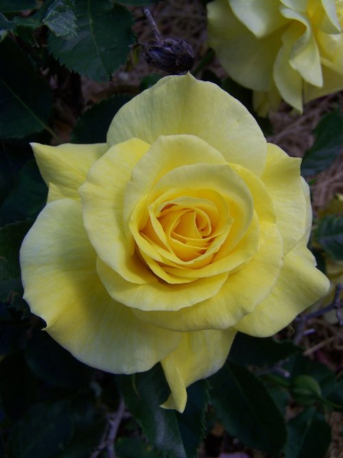rose  yellow  bloom