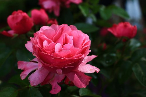 rose  summer  romance