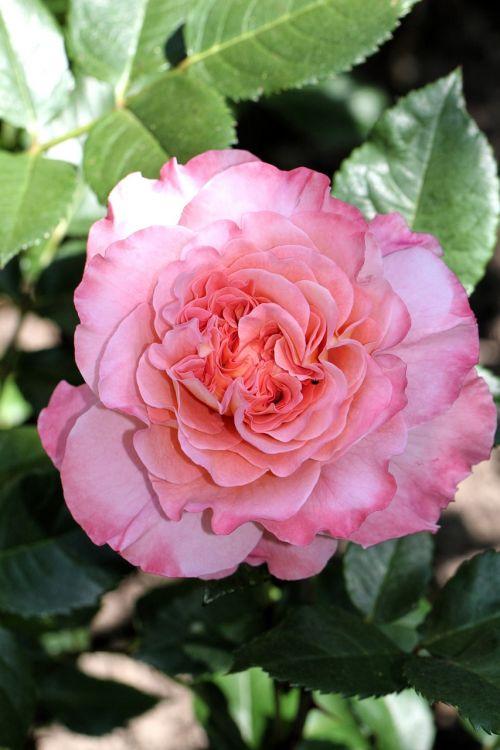 rose,flower,blossom,bloom,nature,plant,pink,garden,summer,romantic,bloom,beautiful,rose bloom,love,color,tender