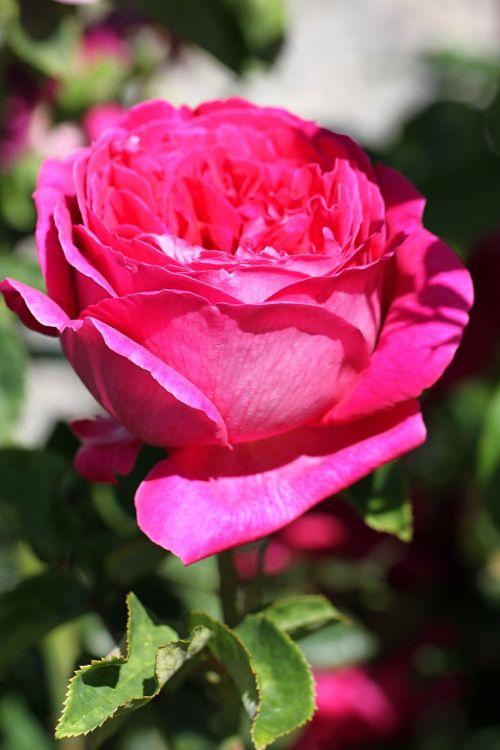 rose,flower,blossom,bloom,nature,plant,garden,pink,romantic,summer,bloom,beauty,flora,rose bloom,rose family,tender