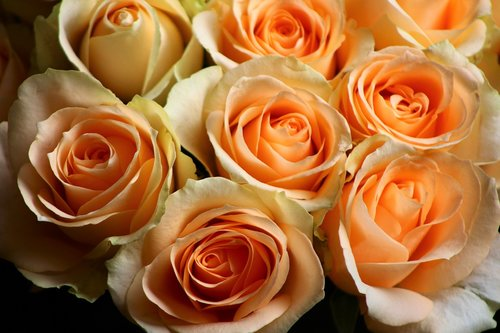 rose  pale  orange