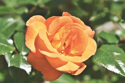 rose  rose bloom  floribunda