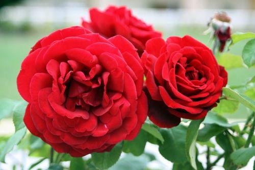 rose rosaceae flower