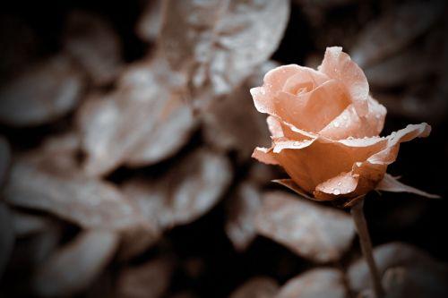 rose isparta turkey love