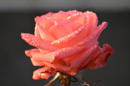 rose  rosa  morning