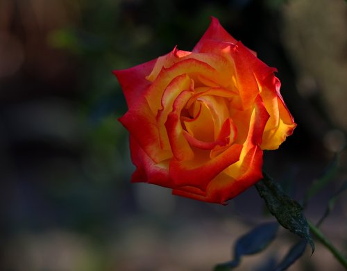 rose  yellow  red