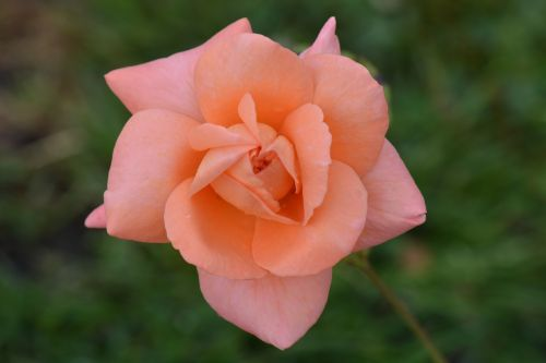 rožė,gėlė,gamta,makro,rožinė rožė