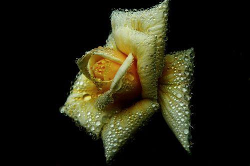 rožė,išaugo žydėti,žiedas,žydėti,gėlė,rasos rasos,liūtys,lašelinė,karoliukas,Uždaryti,augalas,gamta,žydėti,gražus,flora,geltona,žiedlapiai,makro,šviesus,botanika,sodo rožė,dekoratyvinis augalas,šviesa,vasara