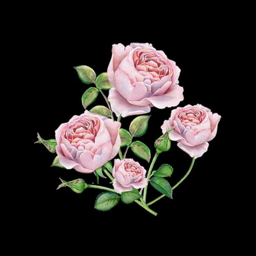 rose  english  rose watercolor roses