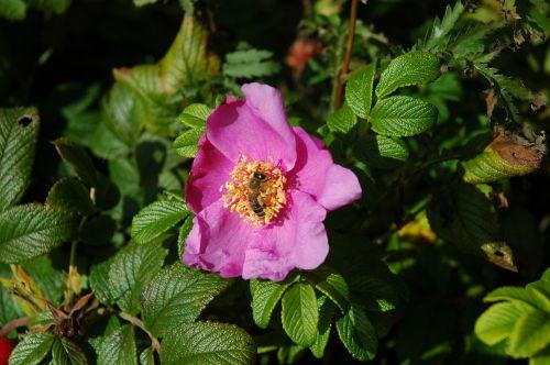 rožė,Laukinė rožė,gėlė,žiedas,žydėti,rožinis,sodas