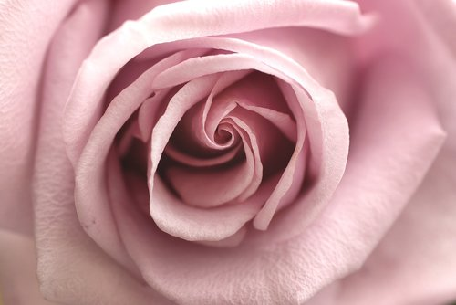 rose  pink  flower