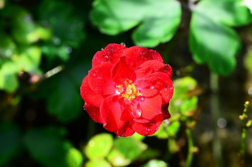 rose red drops of water