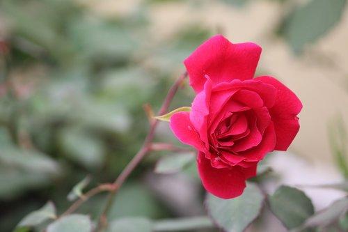 rose  rosa  indica